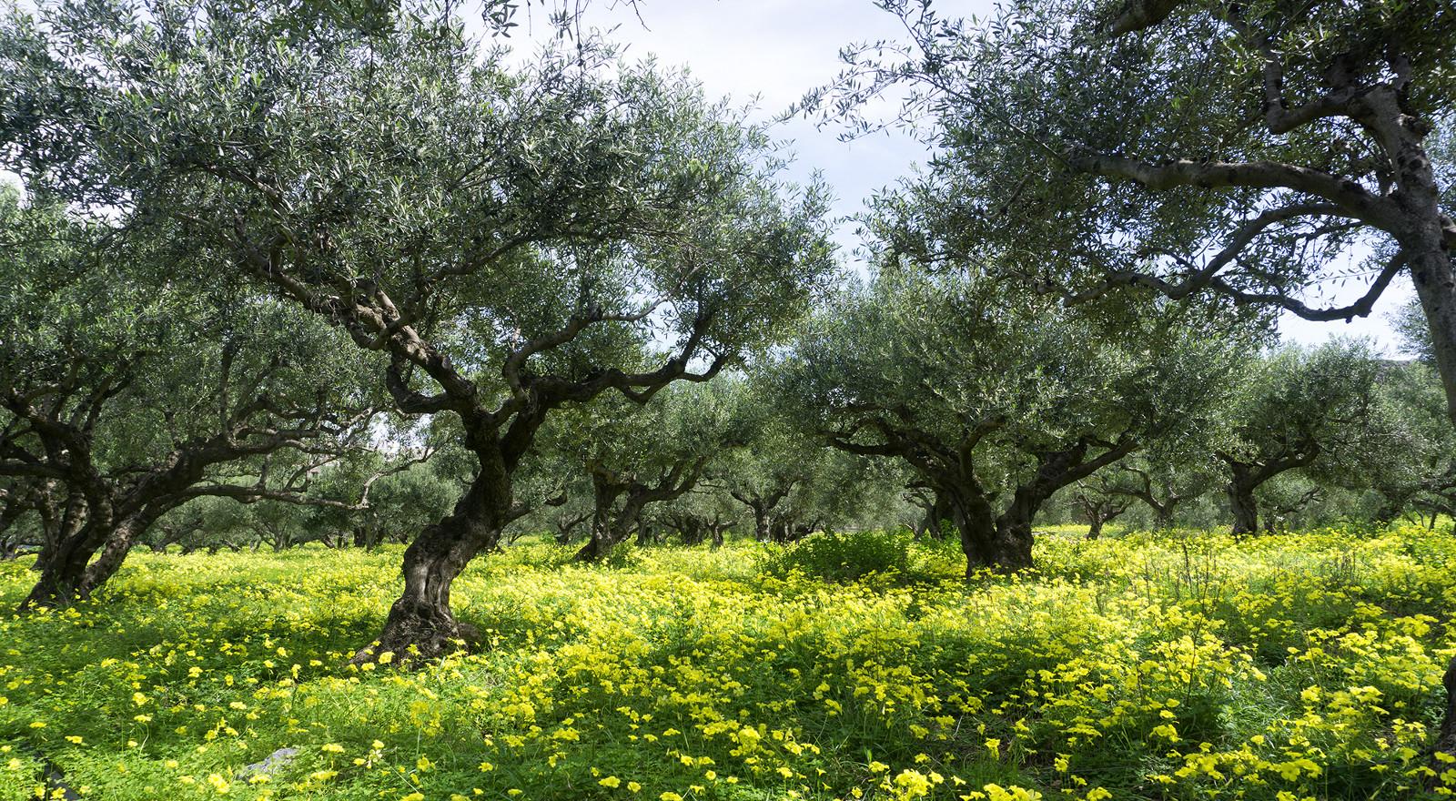 bio-sitia-olive-trees